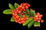 Nature Illustrations: ribes